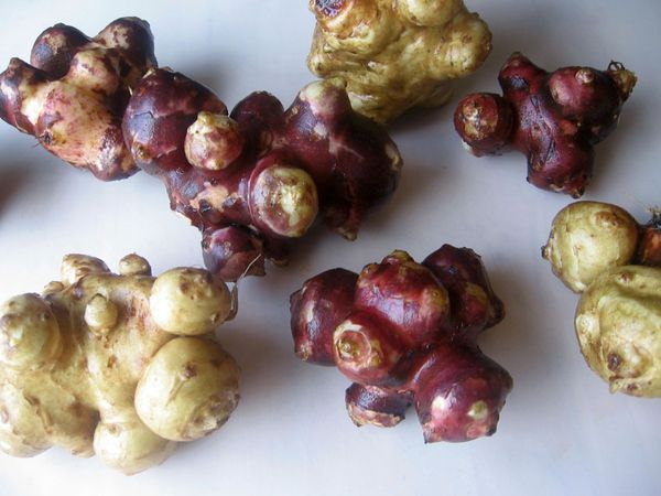 Топинамбур стоит высаживать в последнем месяце зимы