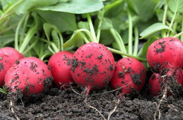Редис чаще выращивают в открытом грунте