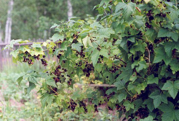 Посадка смородины осенью: особенности и основные этапы