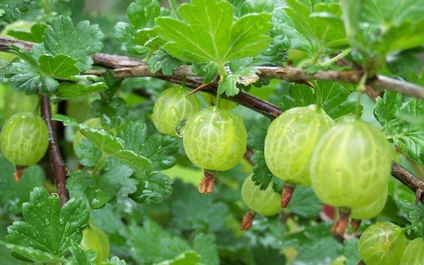 Сорт крыжовника Зеленый дождь