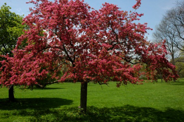 Цветы яблони Малиновка издают приятный аромат малинки