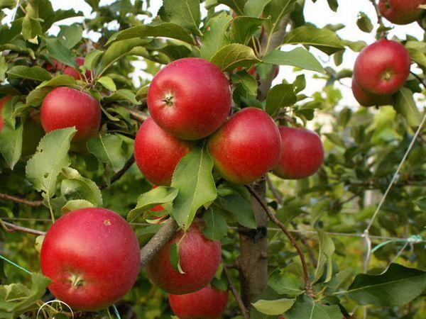 Яблоня Пепин максимально достигает высоты 3 метра