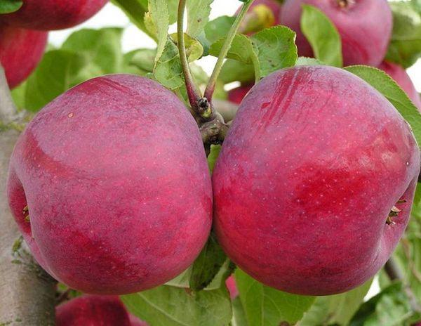 Яблоня Макинтош имеет среднюю урожайность