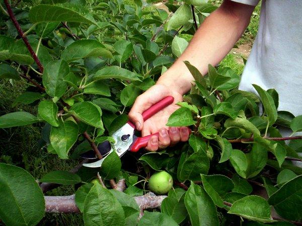 Своевременная обрезка ветвей защитит яблоню от вредителей