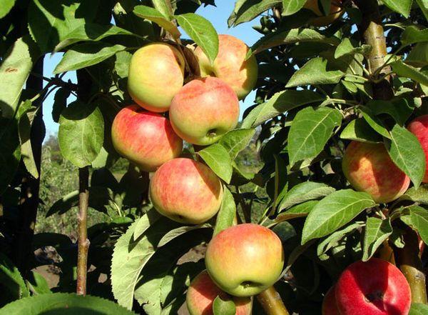 Яблоня Московское ожерелье имеет высокую урожайность