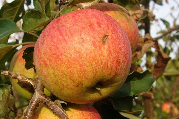 Яблоня Орлинка начинает плодоносить на 4–5 год