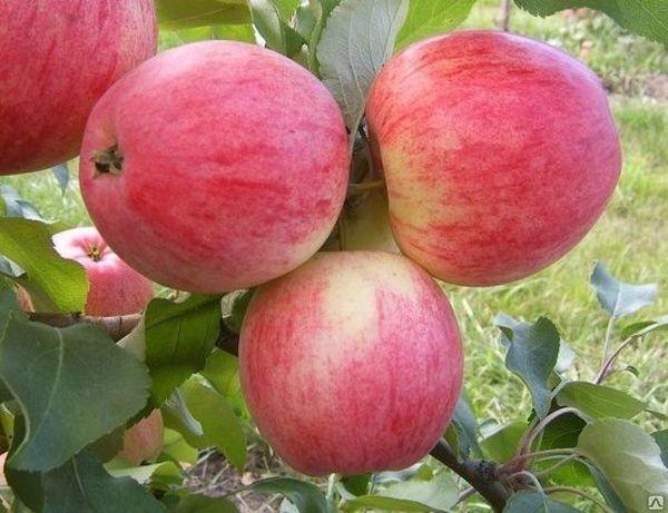 Яблоня Мечта устойчива к грибковым заболеваниям