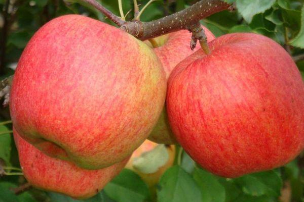 Лигол - яблоня зимнего сорта