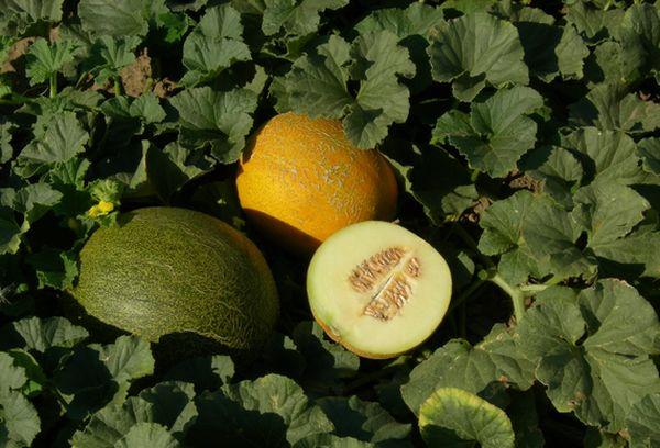 Одна дыня Таманская может весить от 0,5 до 1,3 кг