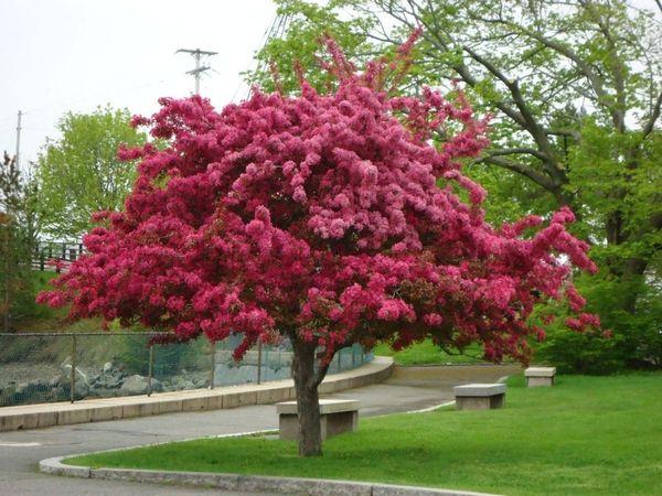 Яблоня с красными листьямивырастает до 4 м в высоту