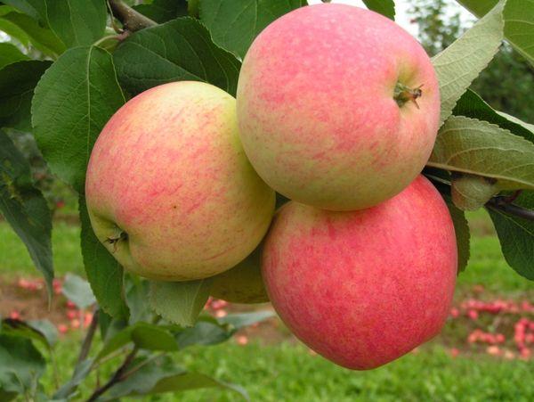 Яблоня Мечта имеет высокий урожай