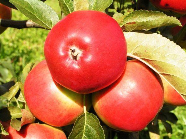 Яблоня Сябрына плодоносит на 3 год после посадки