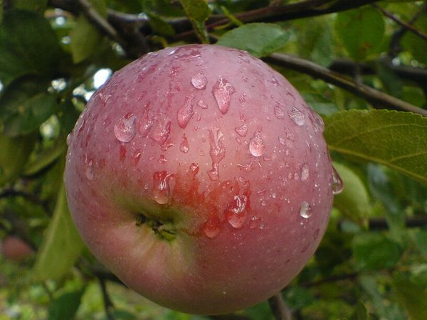Описание старинного осеннего сорта яблони Боровинка