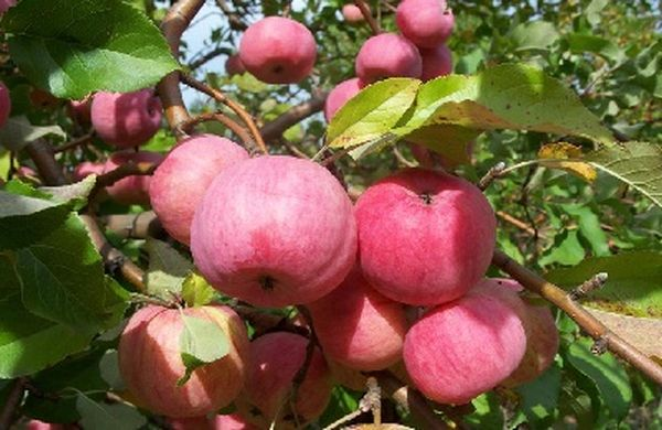 Съемной зрелости яблоки достигают в конце августа