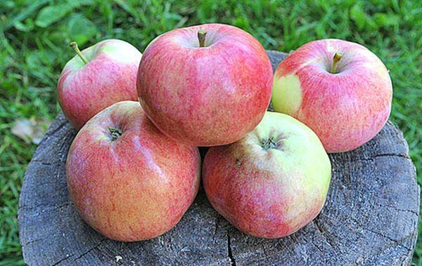 Яблоки собирают с августа по сентябрь