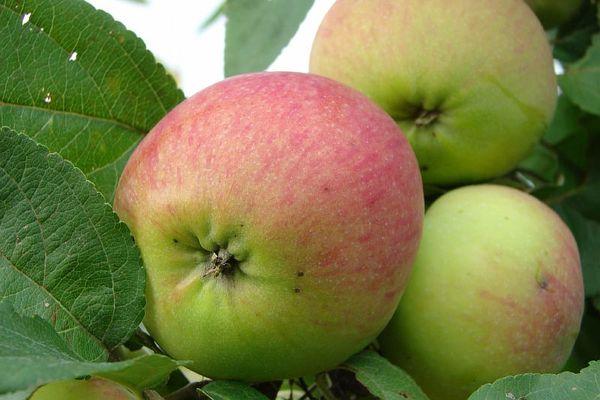 Яблоки сорта Орлинка достигает массы в 160 г