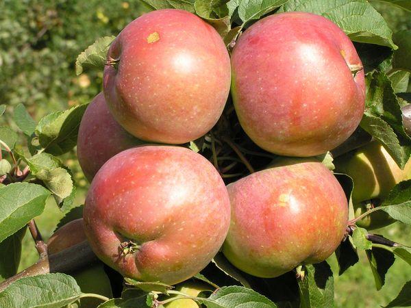 Яблоня Белорусское сладкое плодоносит уже в первый год