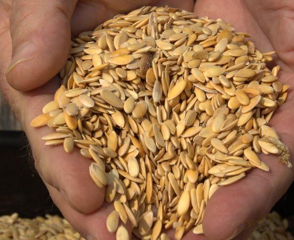 Дыню можно выращивать прямым посевом семян в грунт