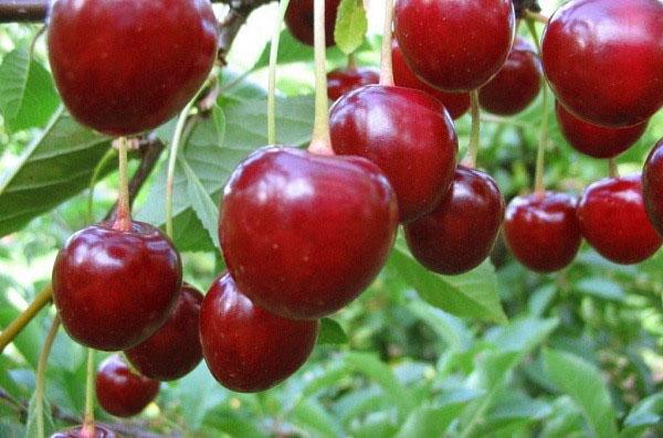 Сорт вишни Тургеневка считается морозоустойчивым