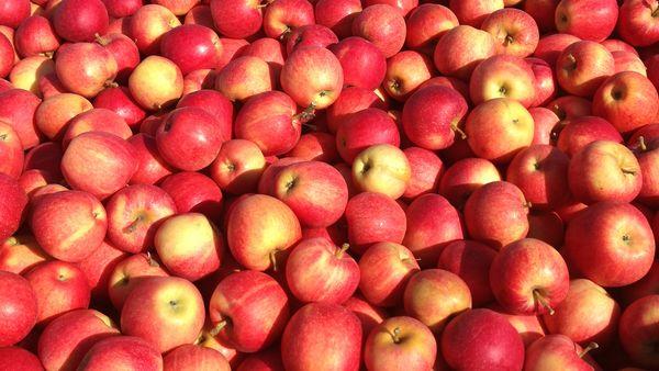С каждой взрослой яблони можно снимать 50-80 кг плодов