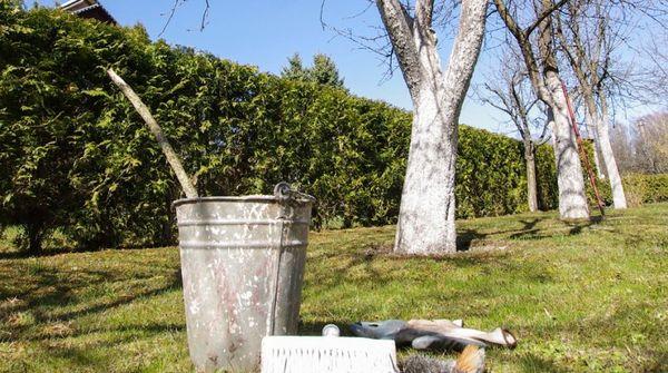 Садоводы проводят до четырех побелок яблонь за сезон