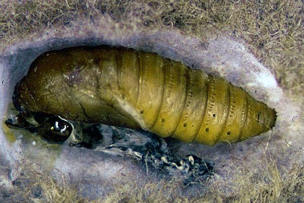 наибольший паразит человека