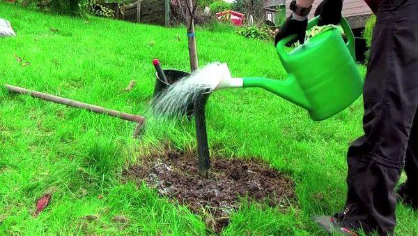 Яблоне Грушовка необходим регулярный полив