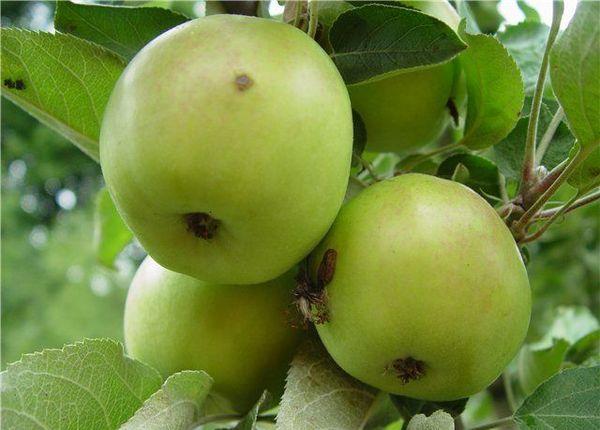 Яблоки достигают технической зрелости в сентябре