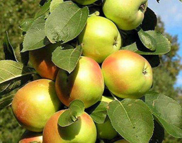 Яблоня Янтарное ожерелье плодоносит уже на второй год