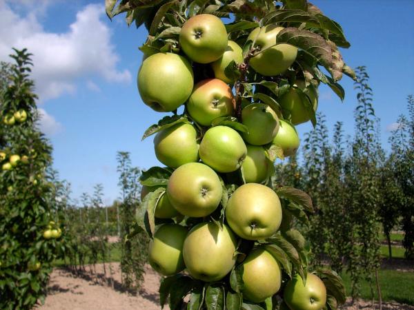 Яблоня Янтарное ожерелье растет до 2,5 м высотой