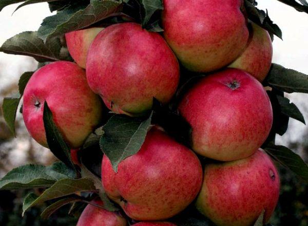 Яблоня Московское ожерелье плодоносит уже в первый год