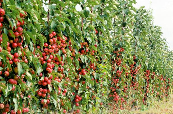 Яблоня Московское ожерелье достигает 2метров в высоту