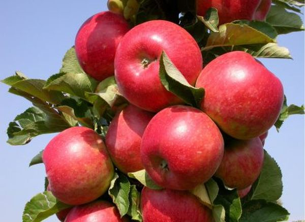 Яблоня Валюта колоновидная: описание и характеристика сорта