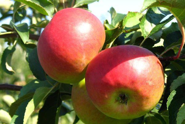 Плоды яблони Квинти достигают массы 115–130 г