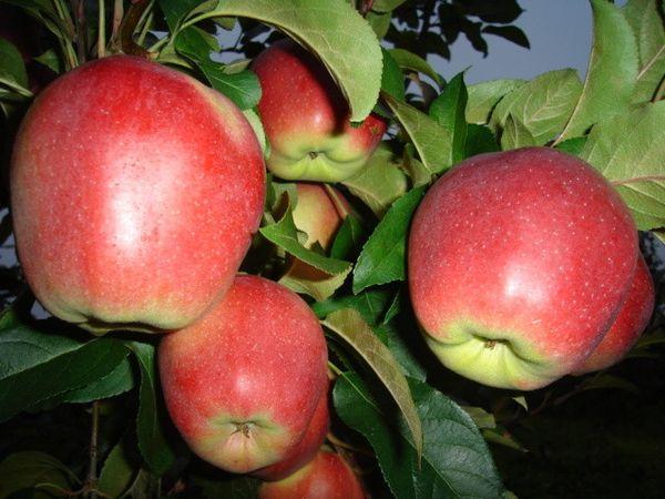 Плоди яблони Лигол достигают массы более 300 грамм