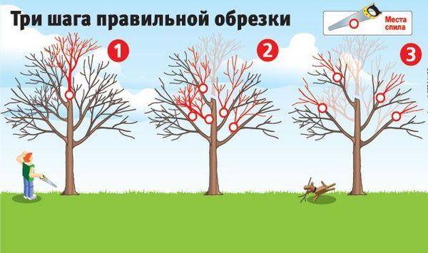 Три шага правильной обрезки плодового дерева