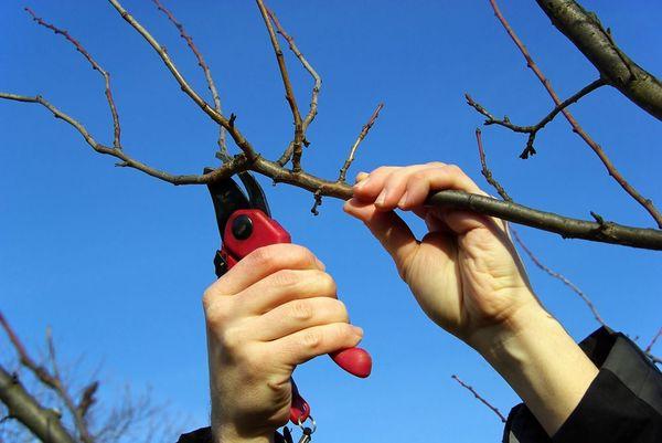 Весенняя обрезка молодой вишни добавит ей жизненных сил