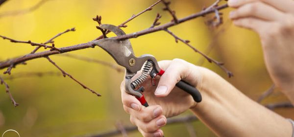 Старая вишня обрезается поэтапно