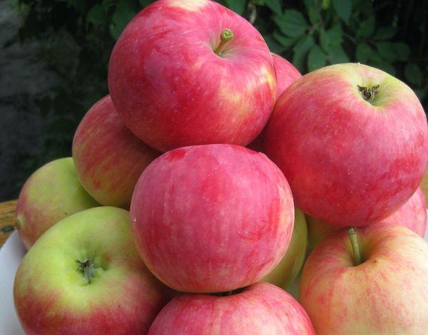 Яблоня Пепинка имеет высокую урожайность