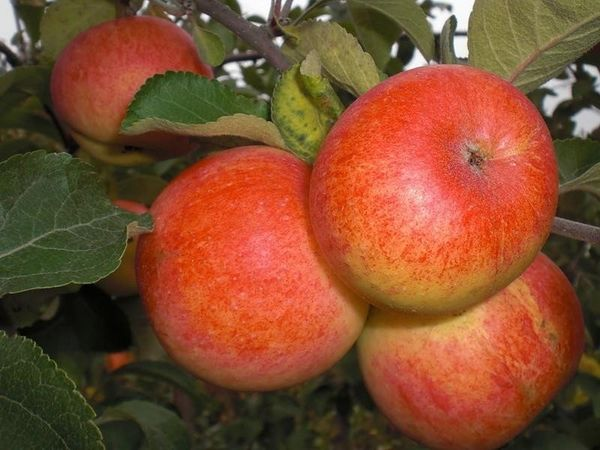 Яблоня Солнышко имеет высокую урожайность