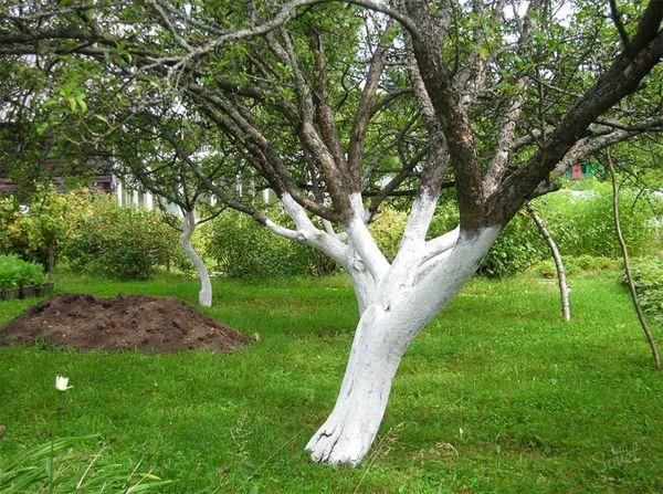 Побелка - хороший метод профилактики от яблоневого цветоеда
