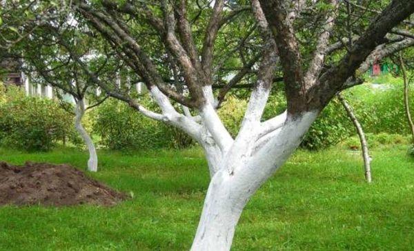 Побелка яблони - хороший метод профилактики от грызунов
