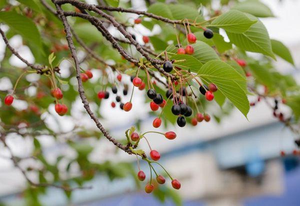 Плоды сакуры имеют также прекрасный вид