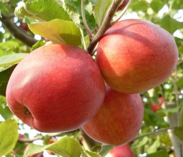 Урожай яблони Пепинка собирают осенью