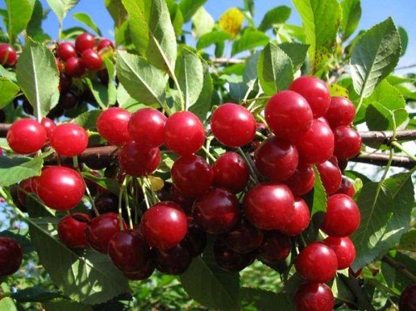 Вишня Тургеневская дает богатый урожай