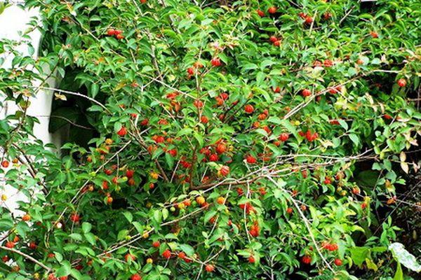 Каждое дерево может подарить 2–10 кг плодов