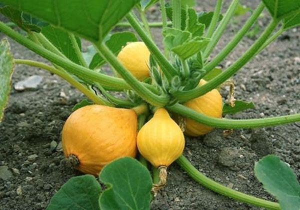Среди огородников популярны кустовые тыквы
