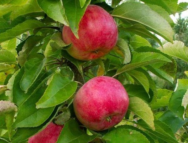 Плоды яблони Васюган весят порядка 100–150 грамм
