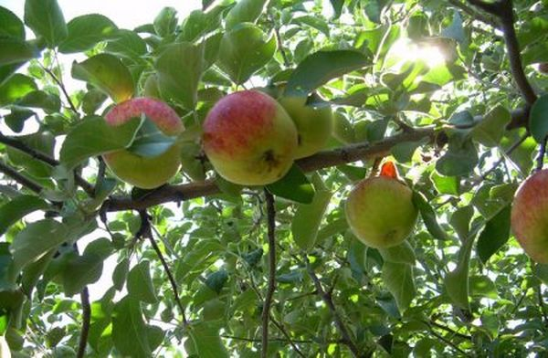 Яблоня Юбиляр хорошо переносят низкую температуру воздуха