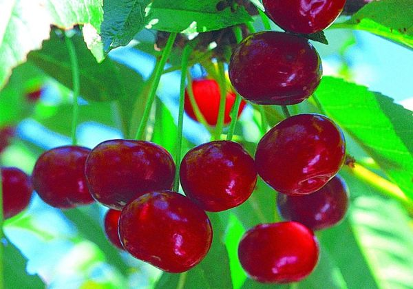 Популярный сорт вишни Гриот Остгеймский